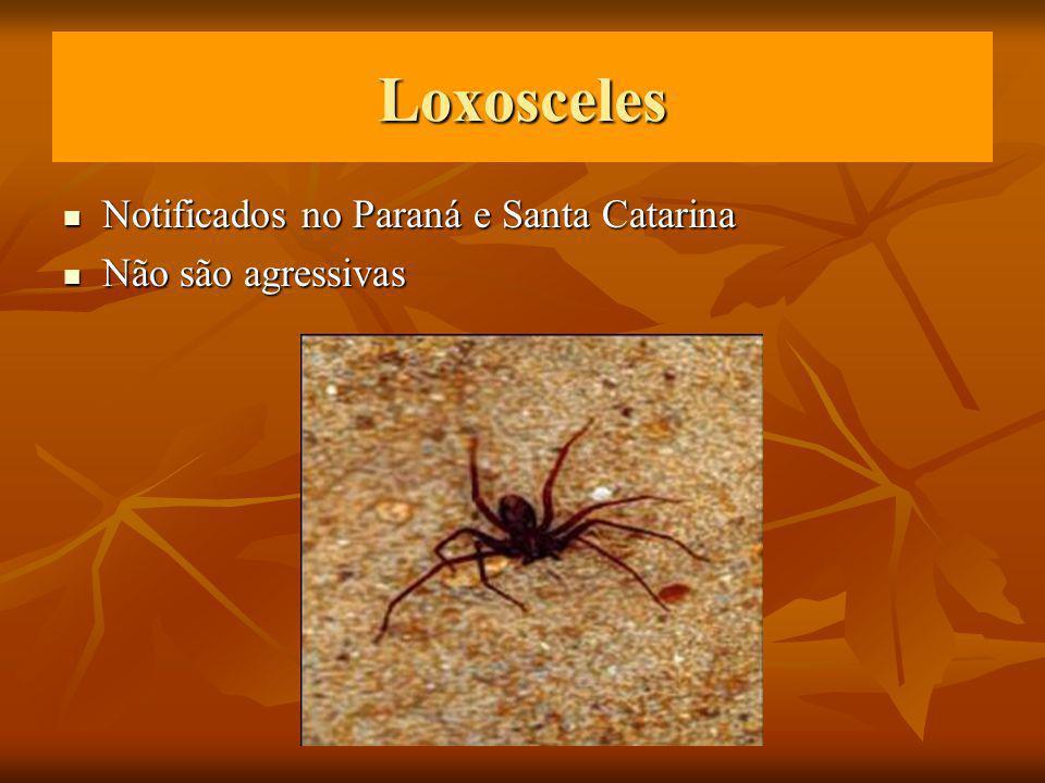 Loxosceles Notificados no Paraná e Santa Catarina Notificados no Paraná e Santa Catarina Não são agressivas Não são agressivas
