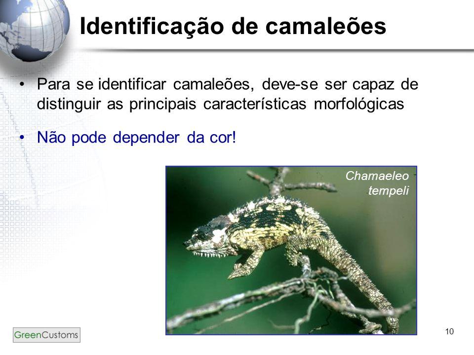 10 Identificação de camaleões Para se identificar camaleões, deve-se ser capaz de distinguir as principais características morfológicas Não pode depen