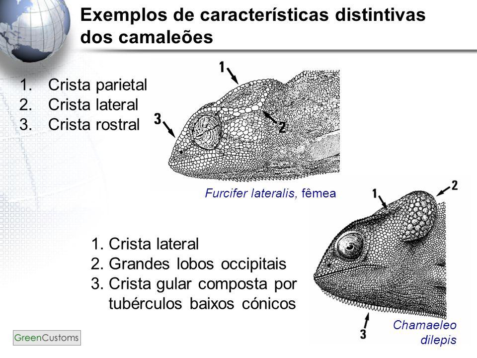 14 Exemplos de características distintivas dos camaleões 1.Crista parietal 2.Crista lateral 3.Crista rostral 1.Crista lateral 2.Grandes lobos occipita