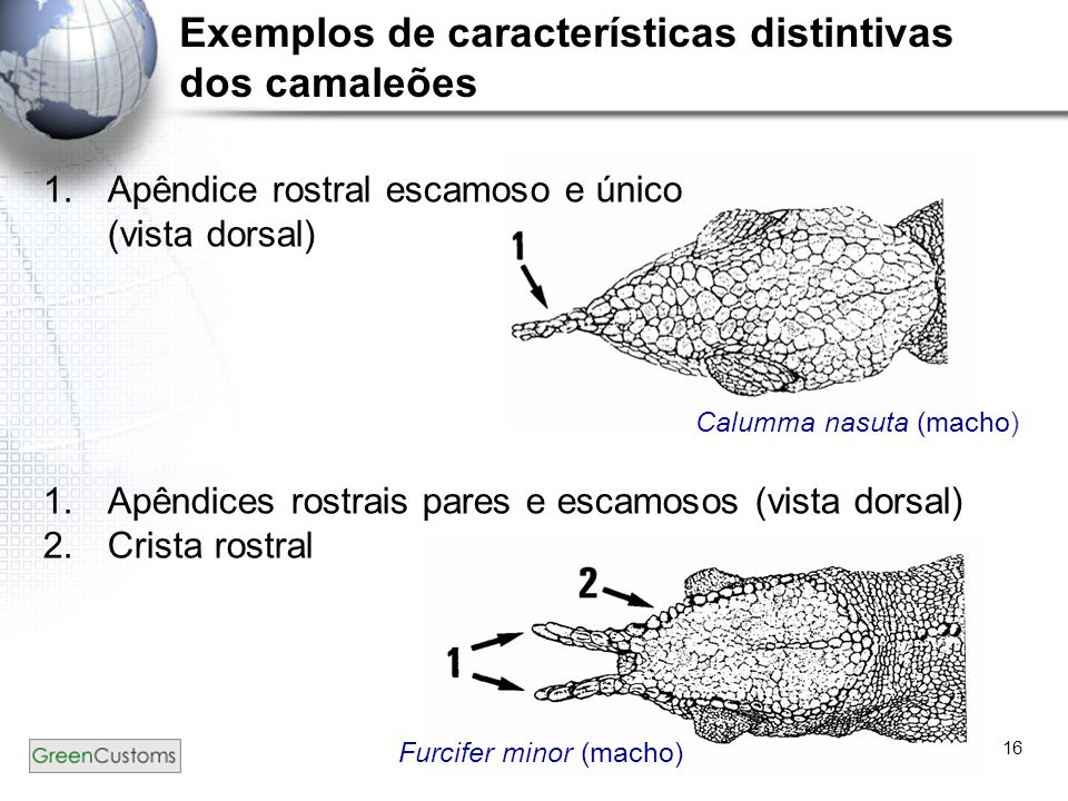 16 Exemplos de características distintivas dos camaleões 1.Apêndice rostral escamoso e único (vista dorsal) 1.Apêndices rostrais pares e escamosos (vi