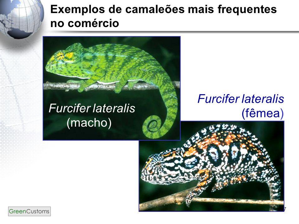 17 Exemplos de camaleões mais frequentes no comércio Furcifer lateralis (macho) Furcifer lateralis (fêmea)