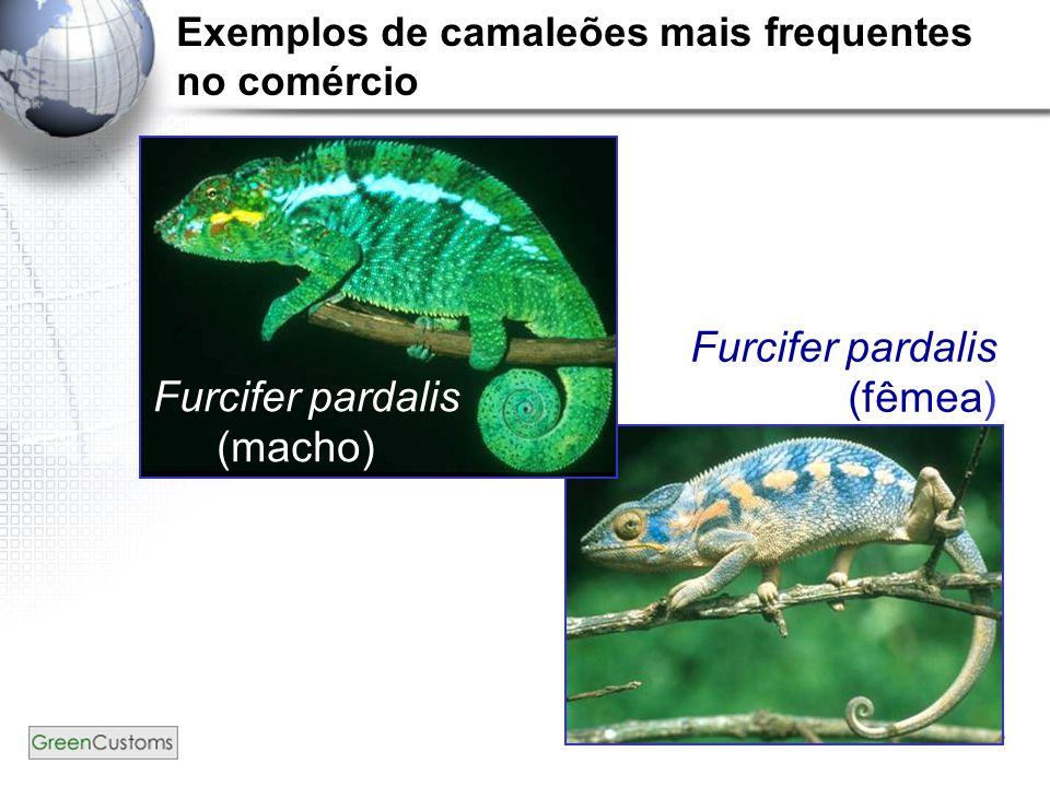 18 Furcifer pardalis (macho) Furcifer pardalis (fêmea) Exemplos de camaleões mais frequentes no comércio