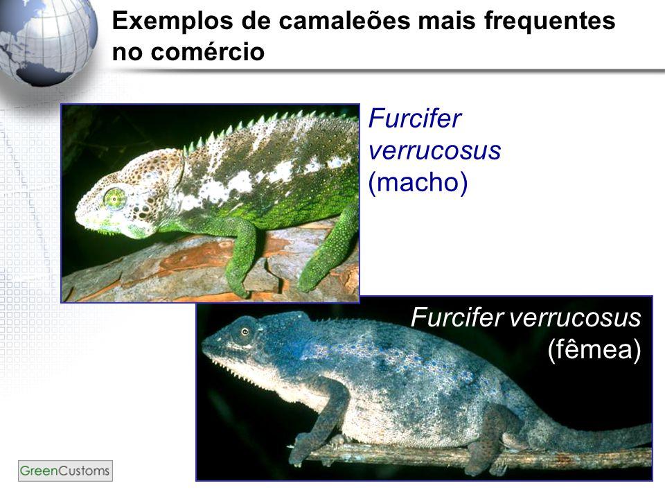 19 Furcifer verrucosus (macho) Furcifer verrucosus (fêmea) Exemplos de camaleões mais frequentes no comércio