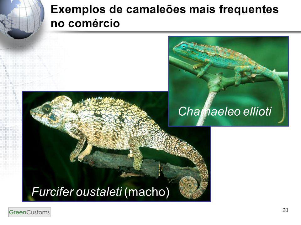 20 Chamaeleo ellioti Furcifer oustaleti (macho) Exemplos de camaleões mais frequentes no comércio