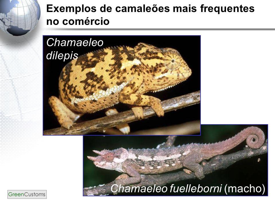 23 Chamaeleo dilepis Chamaeleo fuelleborni (macho) Exemplos de camaleões mais frequentes no comércio