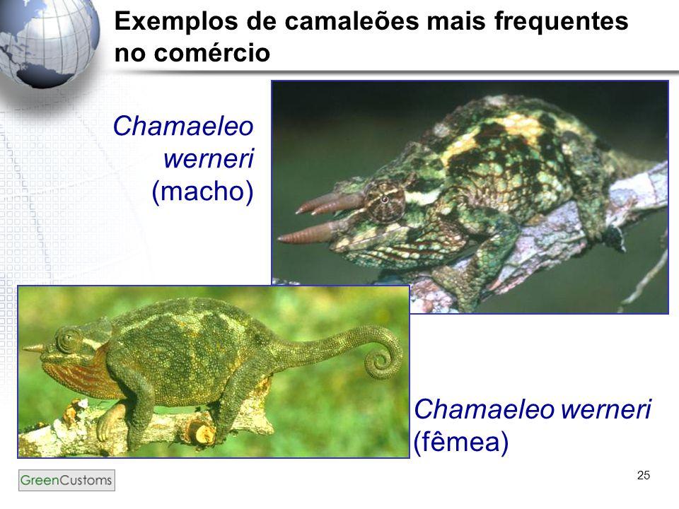 25 Chamaeleo werneri (macho) Chamaeleo werneri (fêmea) Exemplos de camaleões mais frequentes no comércio