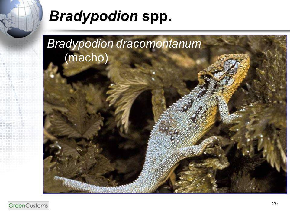 29 Bradypodion spp. Bradypodion dracomontanum (macho)