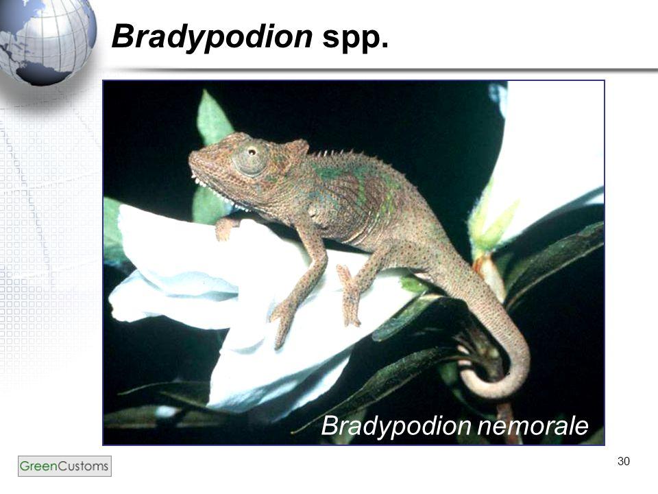 30 Bradypodion spp. Bradypodion nemorale