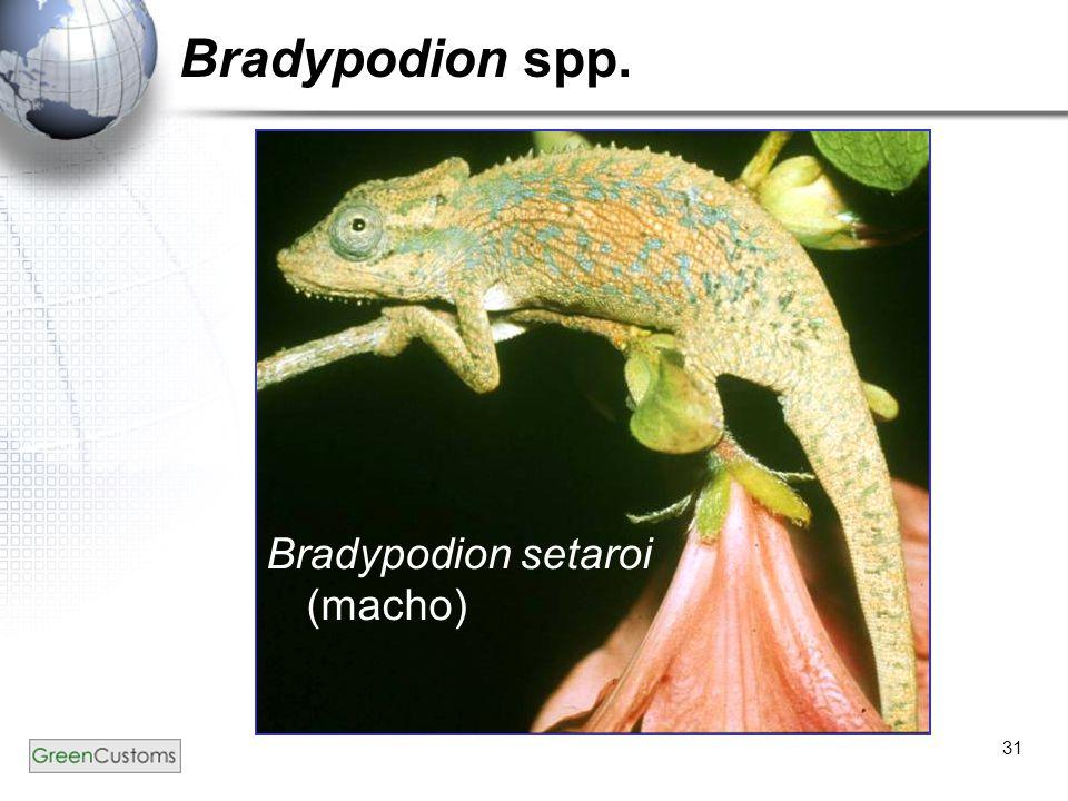31 Bradypodion spp. Bradypodion setaroi (macho)