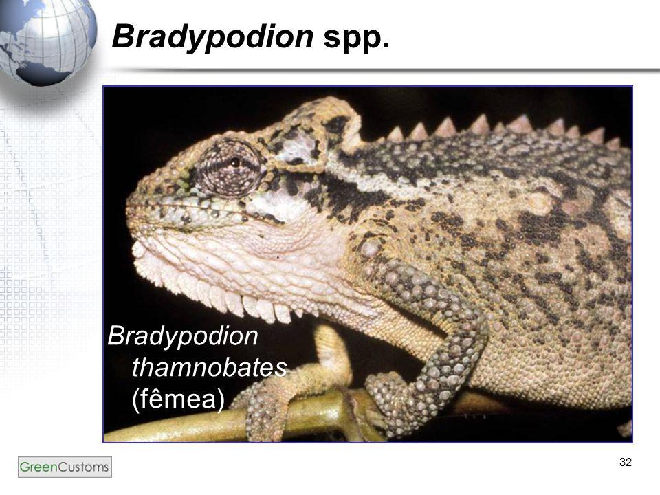 32 Bradypodion spp. Bradypodion thamnobates (fêmea)