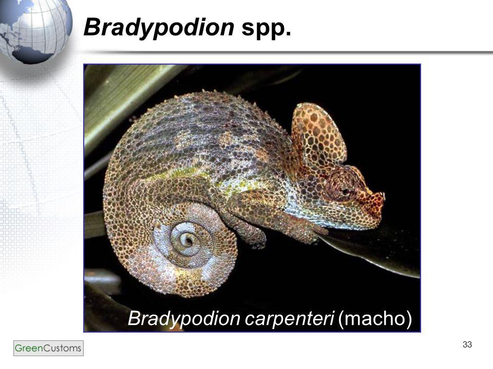 33 Bradypodion spp. Bradypodion carpenteri (macho)