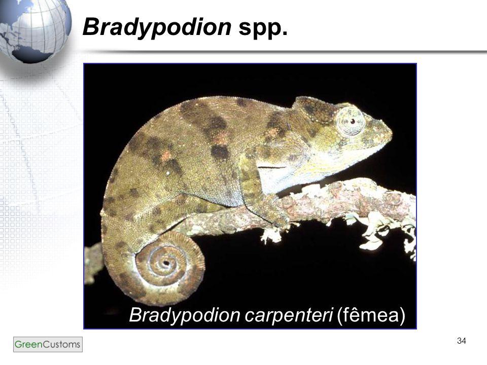 34 Bradypodion spp. Bradypodion carpenteri (fêmea)