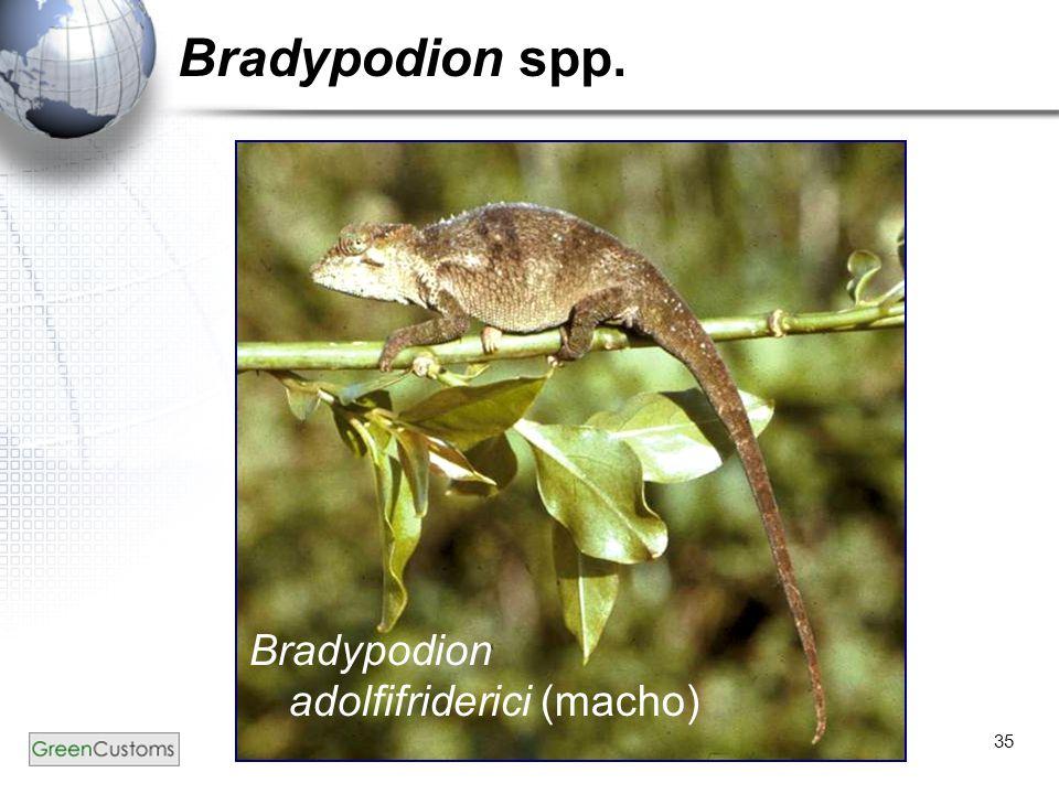 35 Bradypodion spp. Bradypodion adolfifriderici (macho)