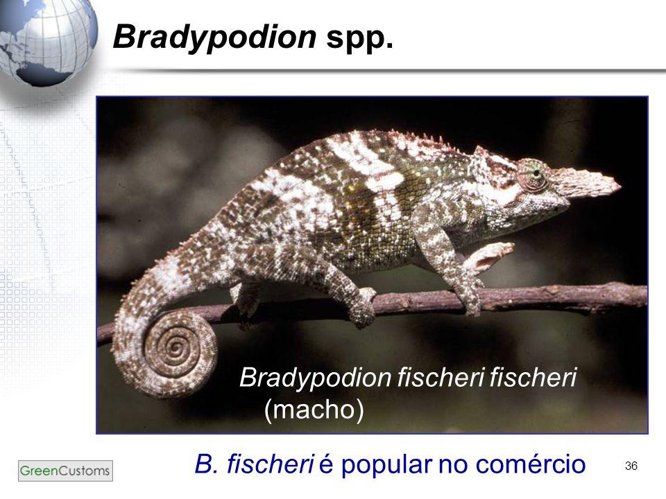 36 Bradypodion spp. Bradypodion fischeri fischeri (macho) B. fischeri é popular no comércio