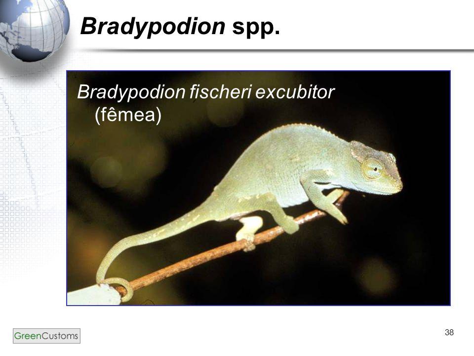 38 Bradypodion spp. Bradypodion fischeri excubitor (fêmea)
