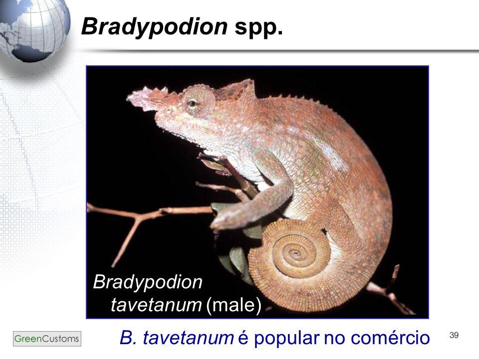 39 Bradypodion spp. Bradypodion tavetanum (male) B. tavetanum é popular no comércio