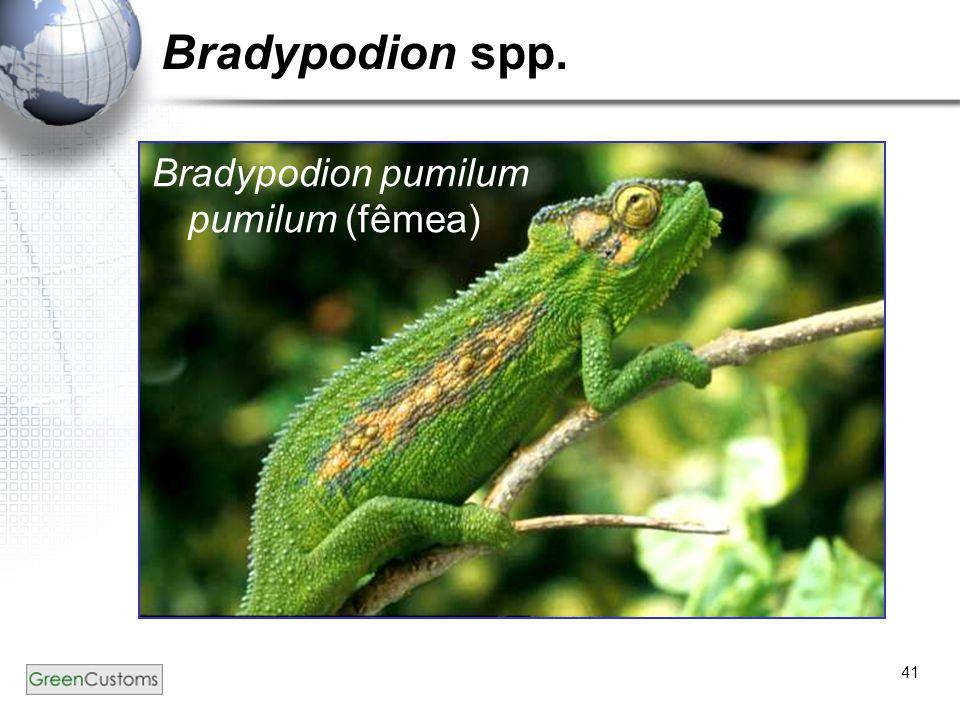 41 Bradypodion spp. Bradypodion pumilum pumilum (fêmea)