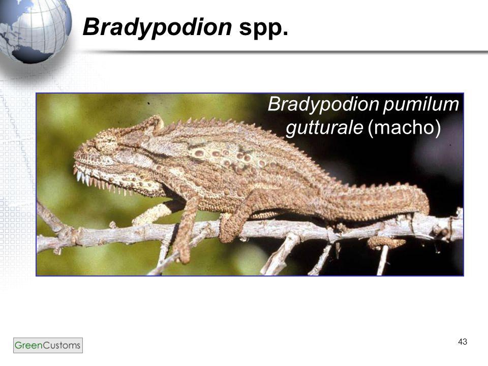 43 Bradypodion spp. Bradypodion pumilum gutturale (macho)