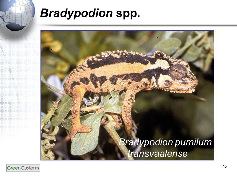 45 Bradypodion spp. Bradypodion pumilum transvaalense