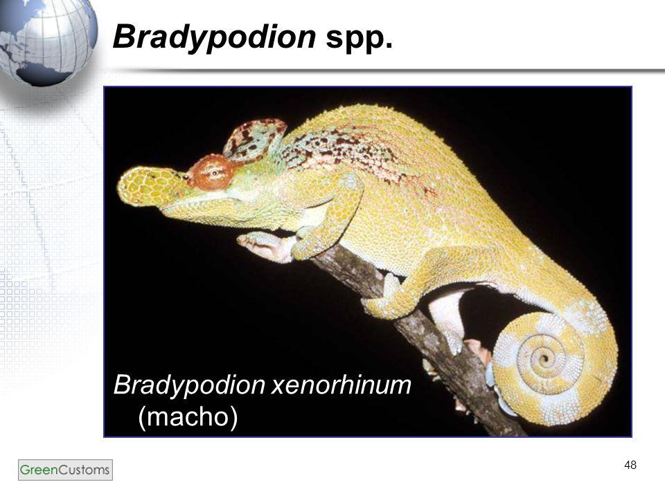 48 Bradypodion spp. Bradypodion xenorhinum (macho)