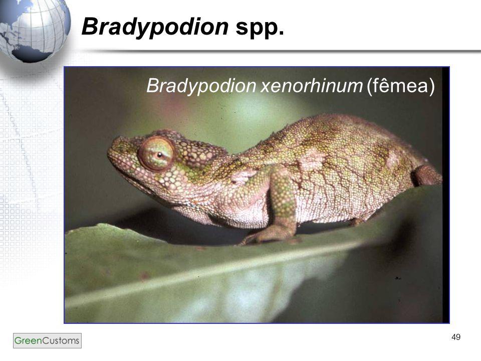 49 Bradypodion spp. Bradypodion xenorhinum (fêmea)