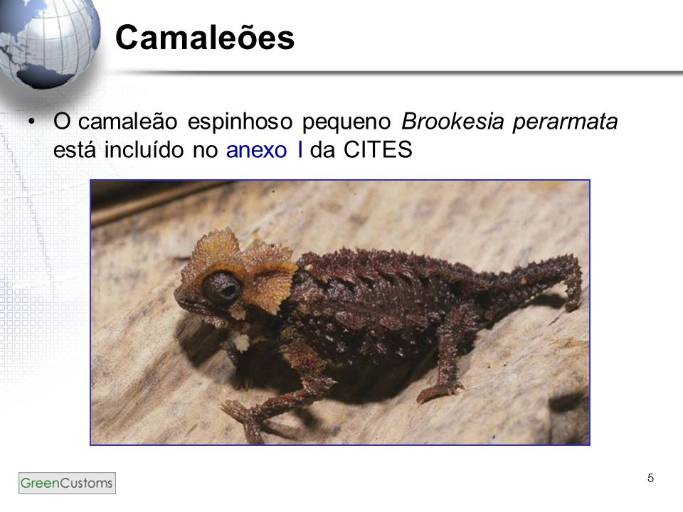 5 Camaleões O camaleão espinhoso pequeno Brookesia perarmata está incluído no anexo I da CITES