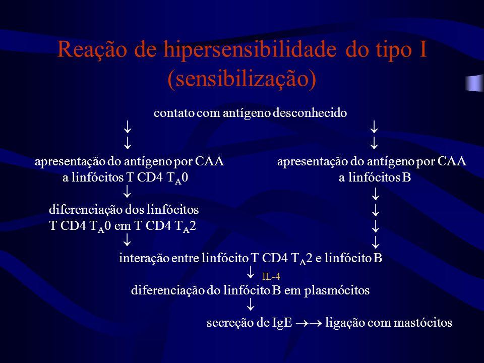 contato com antígeno desconhecido  apresentação do antígeno por CAA a linfócitos T CD4 T A 0 a linfócitos B  diferenciação dos linfócitos T CD4 T A