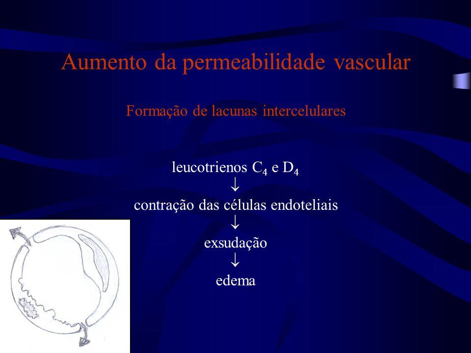 Aumento da permeabilidade vascular Formação de lacunas intercelulares leucotrienos C 4 e D 4  contração das células endoteliais  exsudação  edema