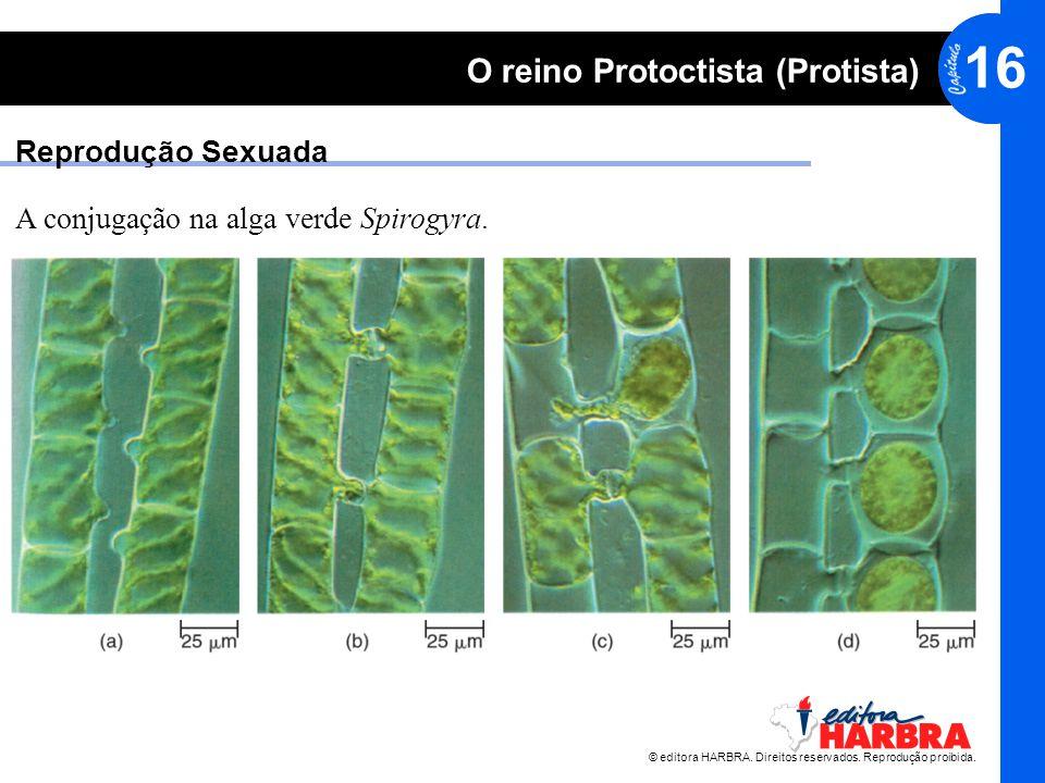 © editora HARBRA. Direitos reservados. Reprodução proibida. 16 O reino Protoctista (Protista) Reprodução Sexuada A conjugação na alga verde Spirogyra.