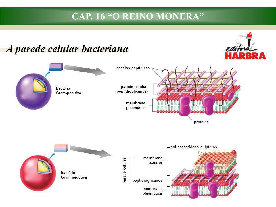 """CAP. 16 """"O REINO MONERA"""" A parede celular bacteriana proteína cadeias peptídicas parede celular (peptidioglicanos) membrana plasmática bactéria Gram-n"""