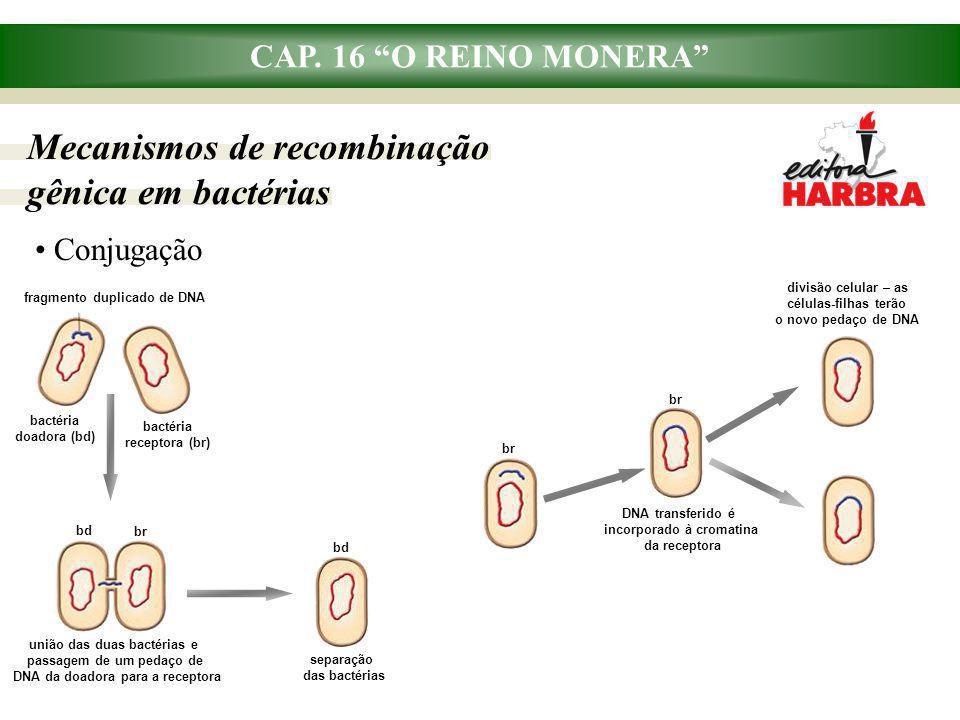 """CAP. 16 """"O REINO MONERA"""" Mecanismos de recombinação gênica em bactérias Conjugação fragmento duplicado de DNA bactéria doadora (bd) bactéria receptora"""