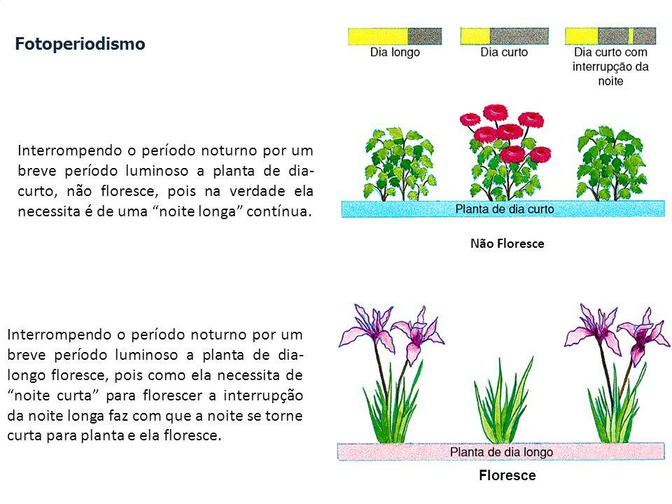 Fotoperiodismo Interrompendo o período noturno por um breve período luminoso a planta de dia- curto, não floresce, pois na verdade ela necessita é de