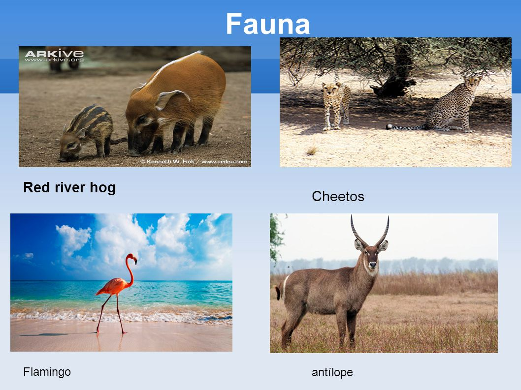 Fauna Red river hog Cheetos Flamingo antílope
