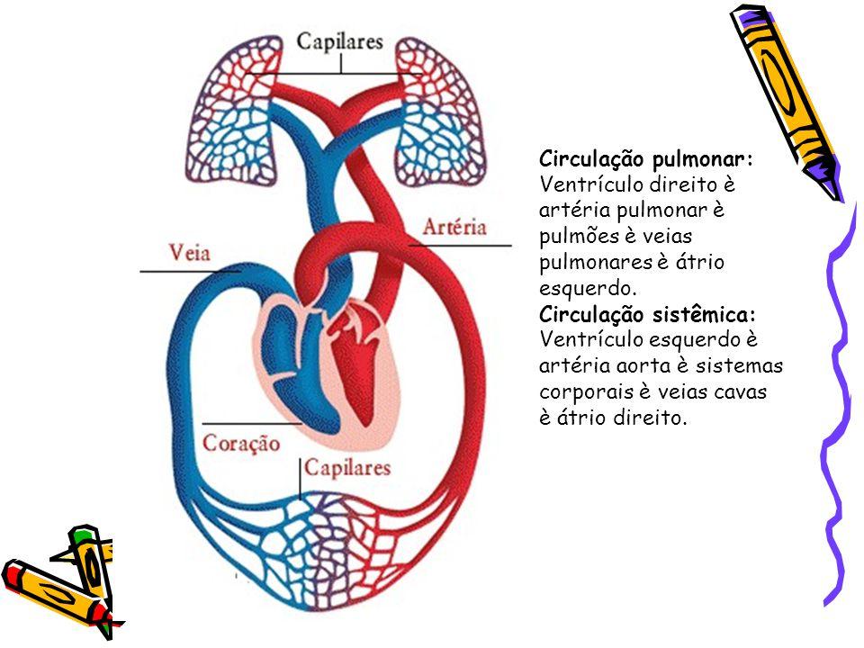 Circulação pulmonar: Ventrículo direito è artéria pulmonar è pulmões è veias pulmonares è átrio esquerdo. Circulação sistêmica: Ventrículo esquerdo è
