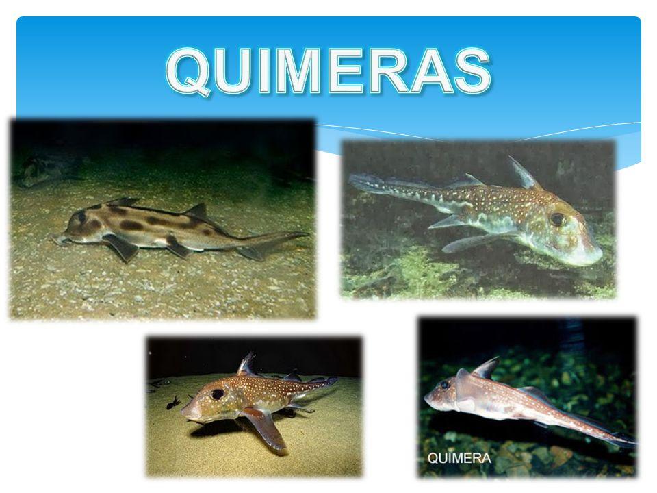 Classes dos Condrictes Os tubarões e as raias:  Chegam a medir de 6 a 20 metros de comprimento  Possuem fendas branquiais sem proteção opercular