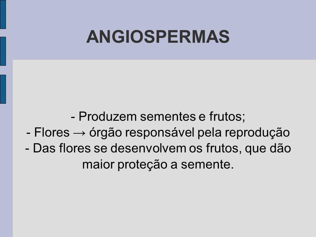 ANGIOSPERMAS - Produzem sementes e frutos; - Flores → órgão responsável pela reprodução - Das flores se desenvolvem os frutos, que dão maior proteção a semente.