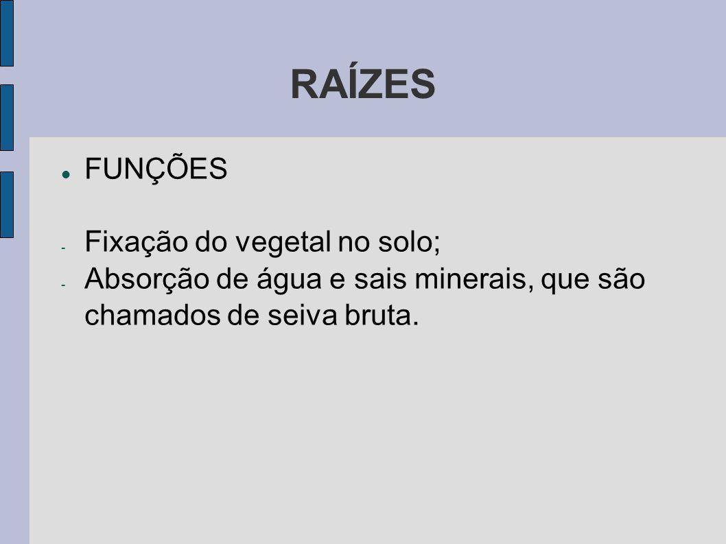 RAÍZES FUNÇÕES - Fixação do vegetal no solo; - Absorção de água e sais minerais, que são chamados de seiva bruta.