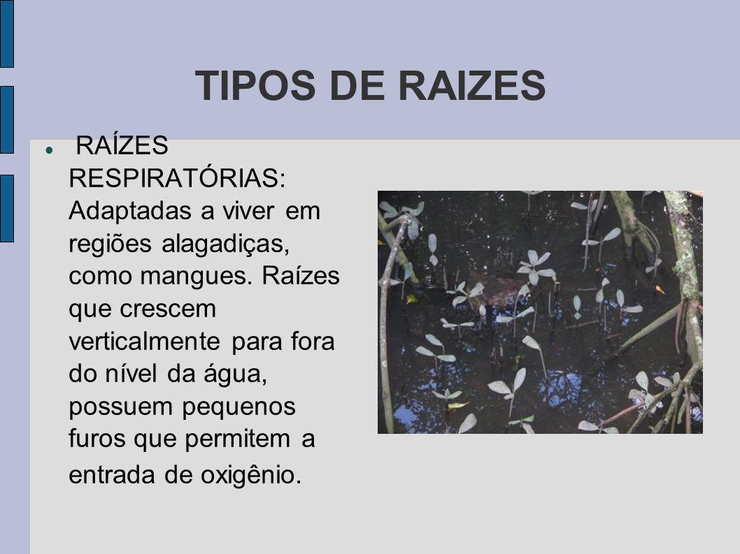 TIPOS DE RAIZES RAÍZES RESPIRATÓRIAS: Adaptadas a viver em regiões alagadiças, como mangues.