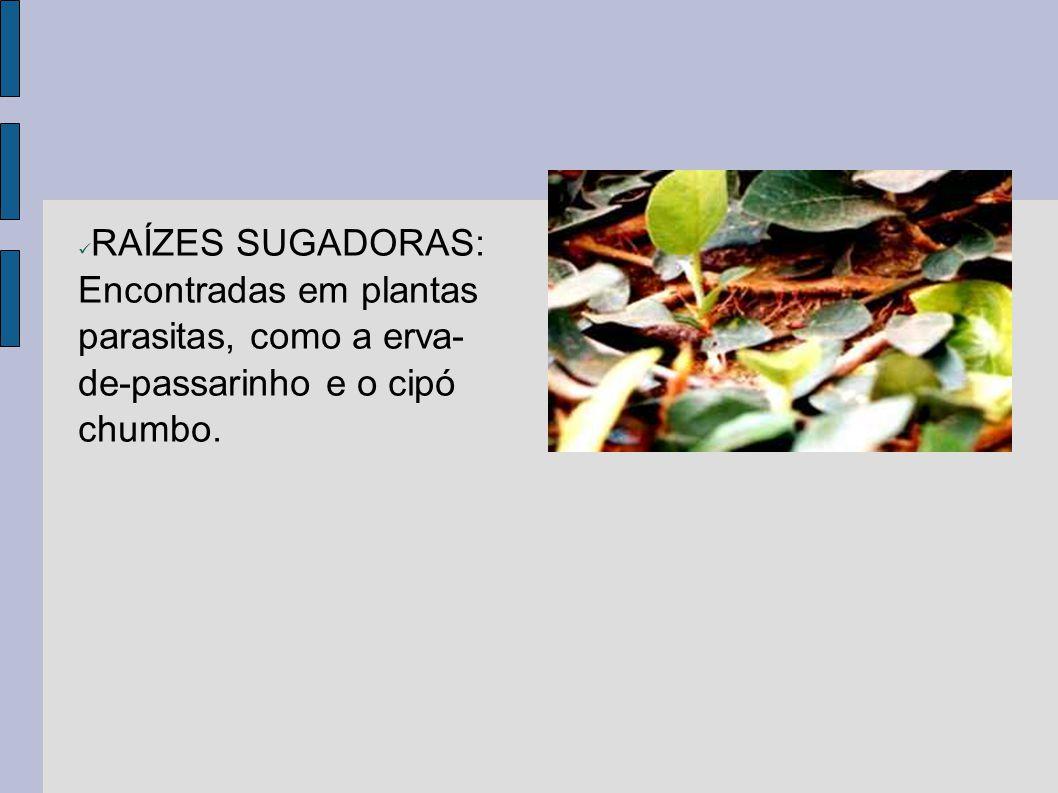 RAÍZES SUGADORAS: Encontradas em plantas parasitas, como a erva- de-passarinho e o cipó chumbo.