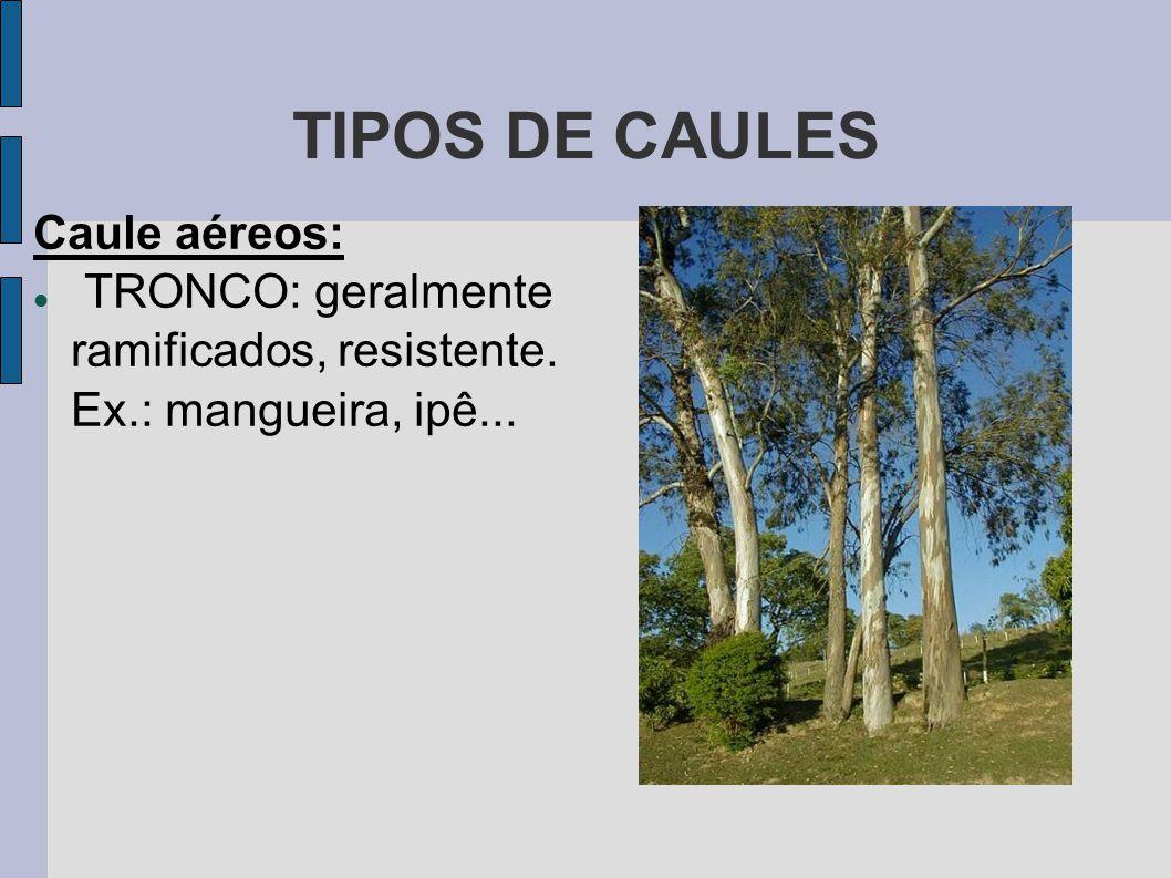 TIPOS DE CAULES Caule aéreos: TRONCO: geralmente ramificados, resistente. Ex.: mangueira, ipê...