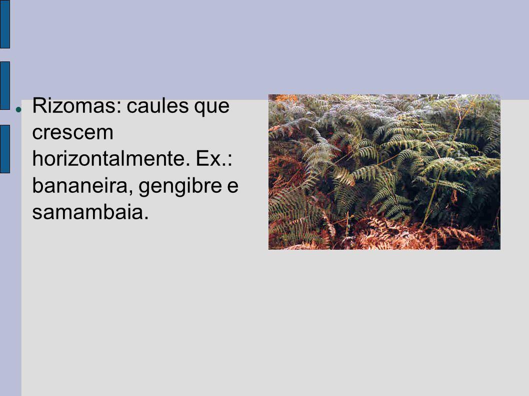 Rizomas: caules que crescem horizontalmente. Ex.: bananeira, gengibre e samambaia.