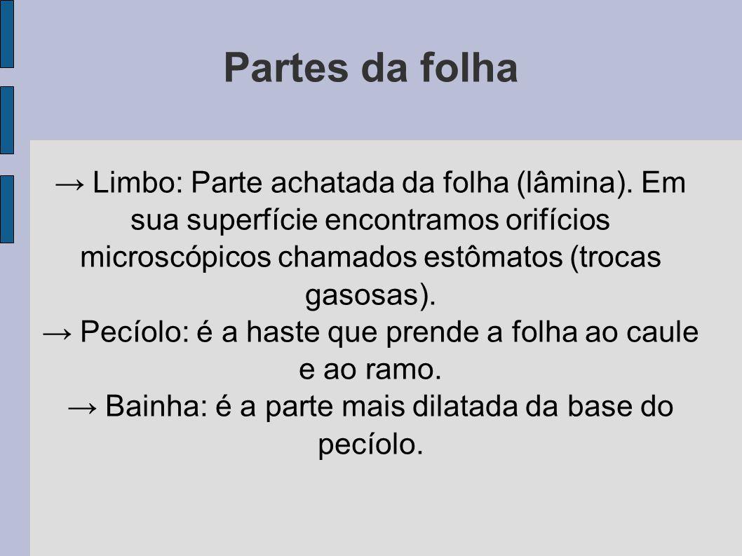 Partes da folha → Limbo: Parte achatada da folha (lâmina).
