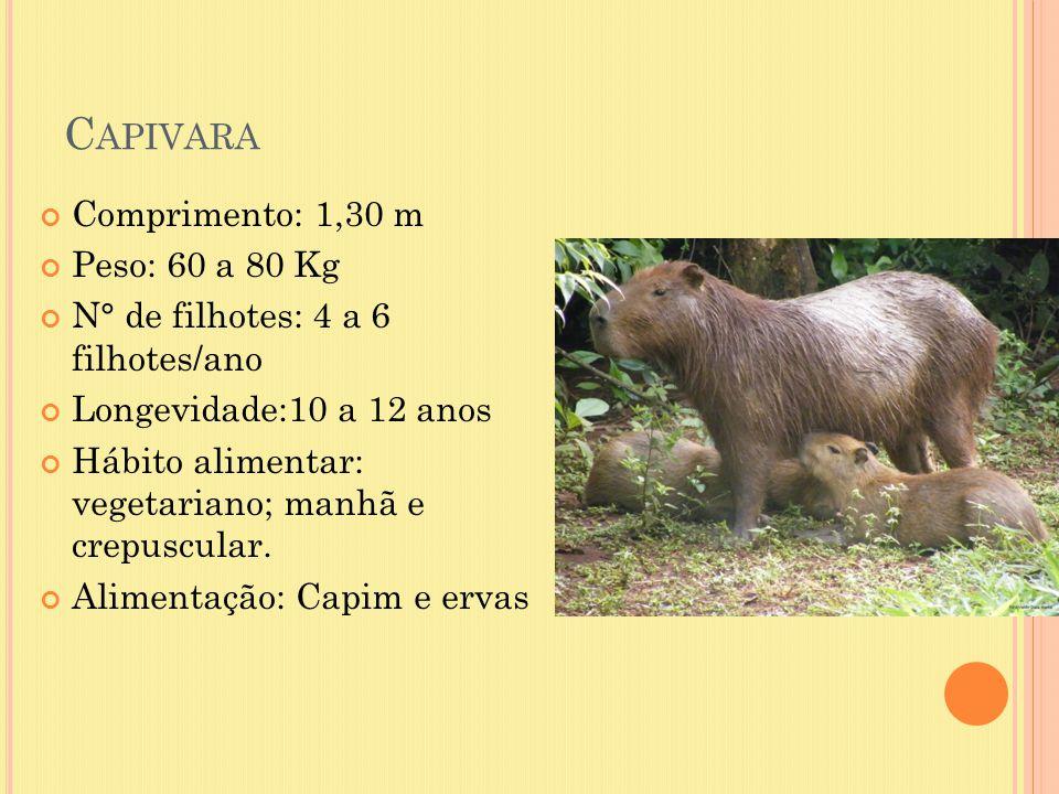 C APIVARA Comprimento: 1,30 m Peso: 60 a 80 Kg N° de filhotes: 4 a 6 filhotes/ano Longevidade:10 a 12 anos Hábito alimentar: vegetariano; manhã e crep
