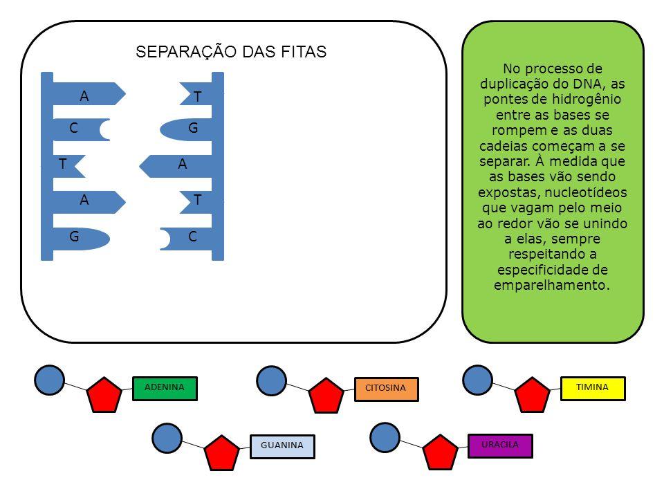 A A A T T T GC GC No processo de duplicação do DNA, as pontes de hidrogênio entre as bases se rompem e as duas cadeias começam a se separar. À medida