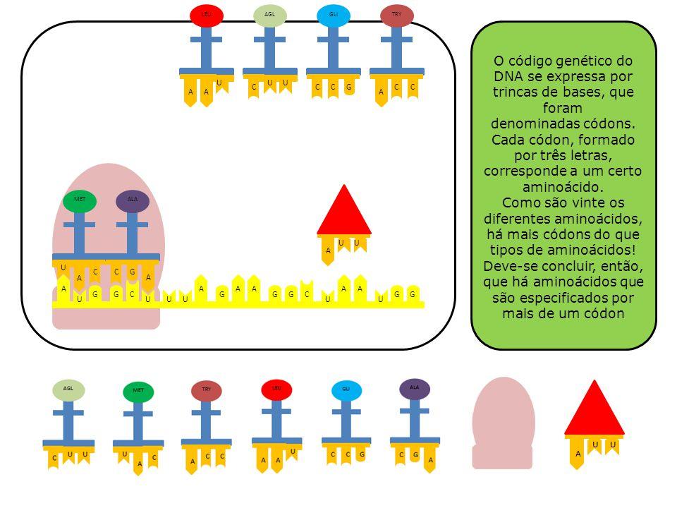 A G U C G UUU A G AA GG C U A U GG A A U C MET GC A ALA AA U LEU UU C AGL CCG GLI A CC TRY O código genético do DNA se expressa por trincas de bases,