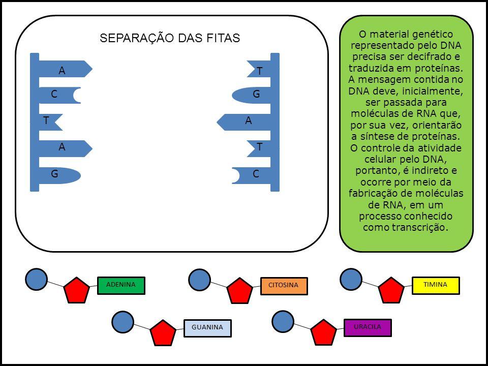 A A A T T T GC GC O material genético representado pelo DNA precisa ser decifrado e traduzida em proteínas. A mensagem contida no DNA deve, inicialmen