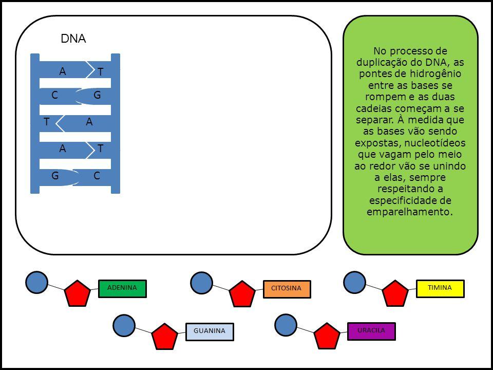A A T G A T T C G C G A U C U Em uma célula eucariótica, o RNAm produzido destaca-se de seu molde e, após passar por um processamento, atravessa a carioteca e se dirige para o citoplasma, onde se dará a síntese protéica.