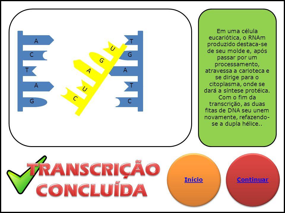 A A T G A T T C G C G A U C U Em uma célula eucariótica, o RNAm produzido destaca-se de seu molde e, após passar por um processamento, atravessa a car