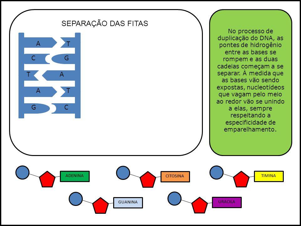 A A A T T T GC GC No processo de duplicação do DNA, as pontes de hidrogênio entre as bases se rompem e as duas cadeias começam a se separar.