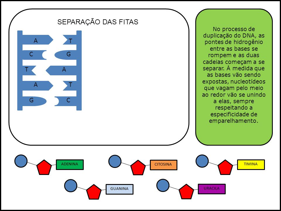 A A A T T T GC GC O material genético representado pelo DNA precisa ser decifrado e traduzida em proteínas.